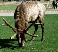 beautifull elk
