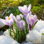 flowers-purple-crocus-13111088