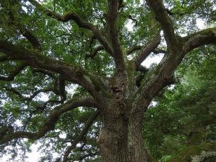 oak tree pixabay tree-893273_640 (1)