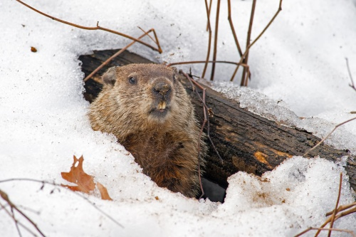 groundhog 1 mo free trial AdobeStock_89990419.jpeg